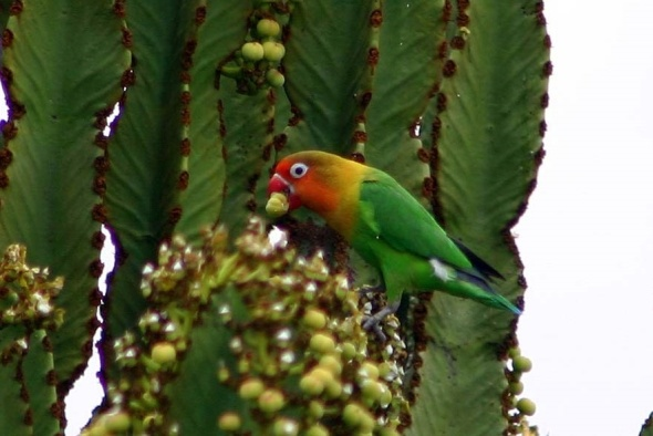 fischers-lovebird-ds
